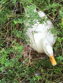 Momma Duck sitting on her eggs at the hotel